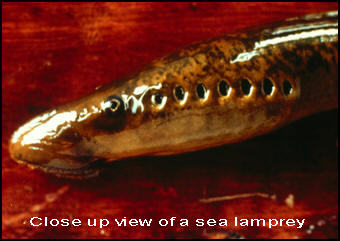 Close up view of a sea lamprey